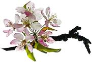 Lindleshof-Blüte